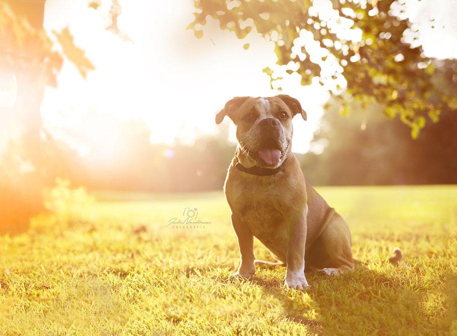 Portrait, Hund, englische Bulldogge, Schwarz-Weiß, Julia Neubauer Fotografie