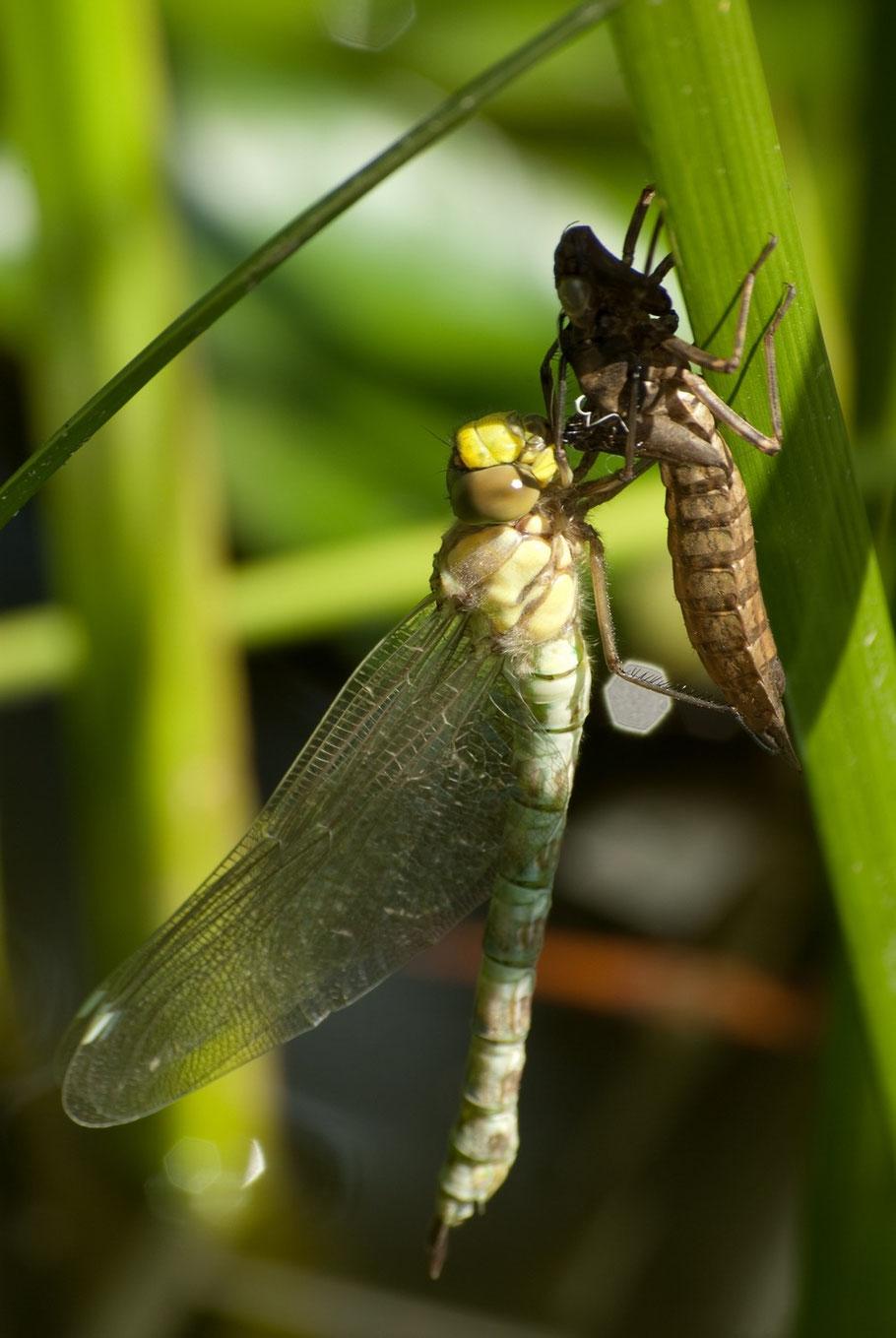 geschlüpfte Libelle, Gartenteich