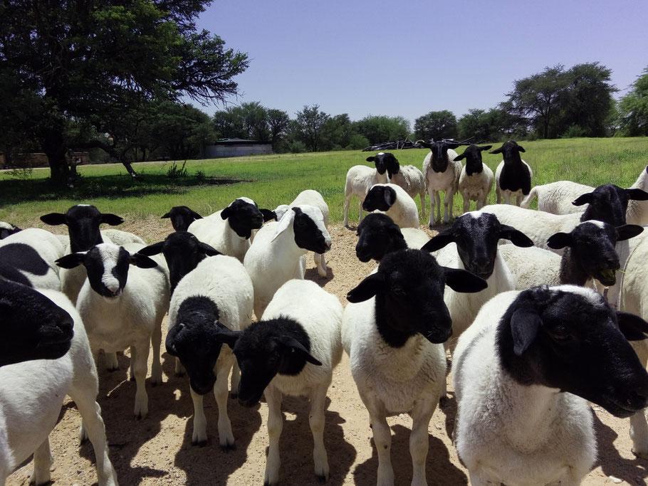 Neugierige Schafe in der Kalahari