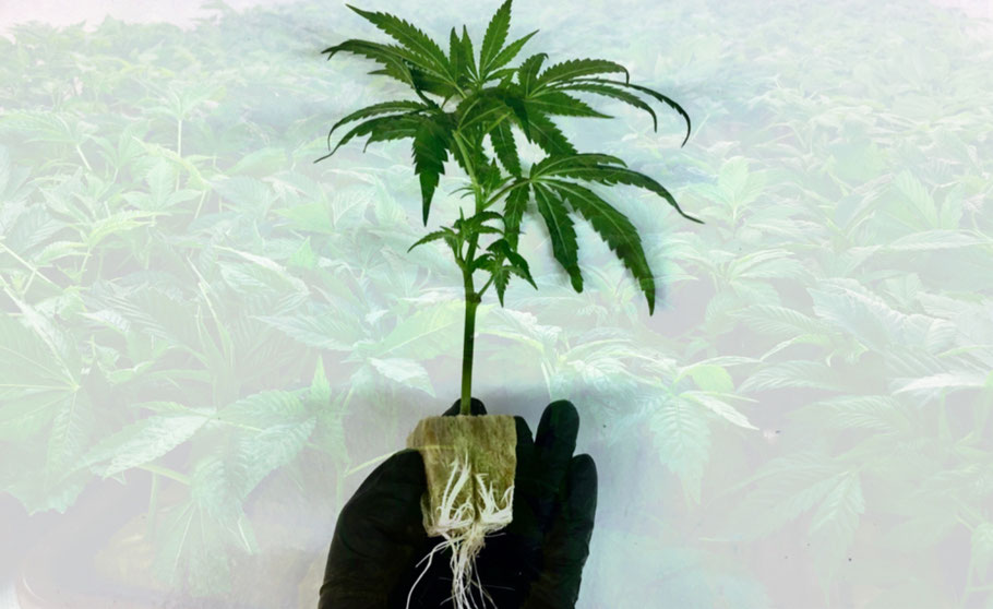 Wunderland Growshop  Graz - Konoplja klone / Potaknjenci i Rastline Avstrija - Konoplja shop Avstrija - cannabis clones austria - buy cannabis cuttings in Austria
