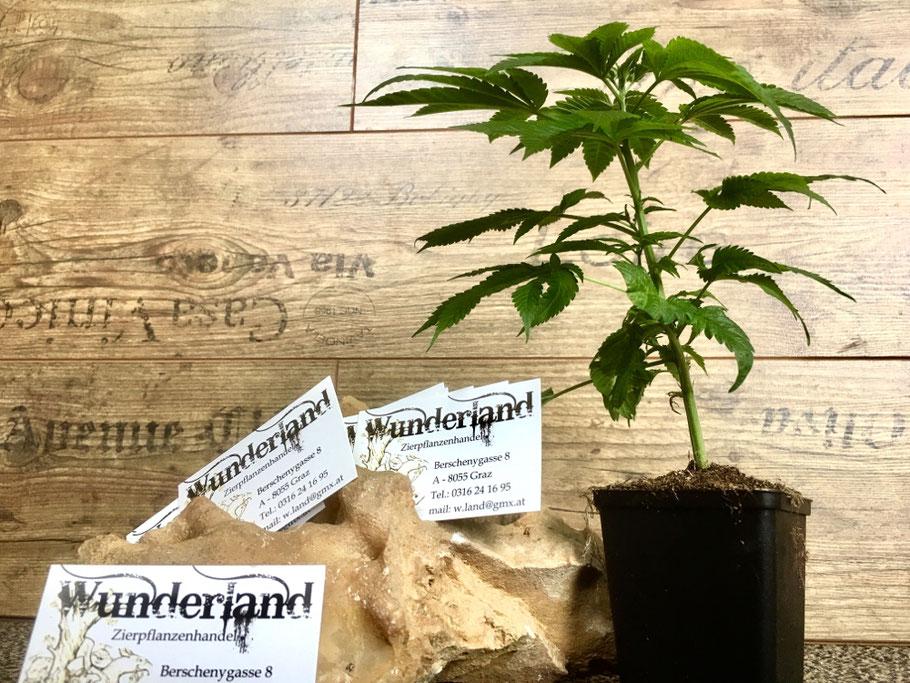 Wunderland Growshop - Hanfpflanzen / Cannabis Pflanzen in bester Qualität online kaufen / bestellen - Österreich / Graz / Steiermark - Konoplja Avstrija