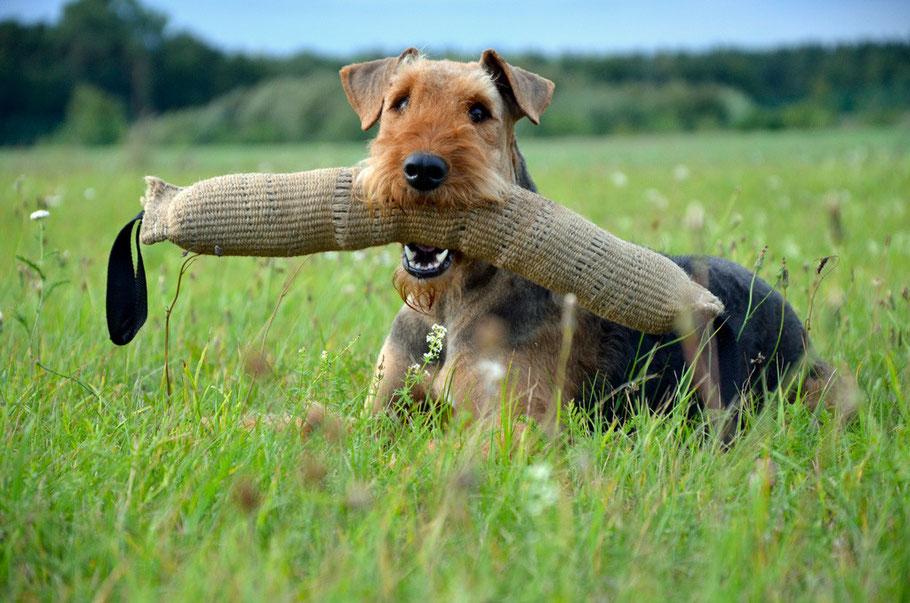 Airedale Terrier vom Juratal, Anica-Romi auf unserer Wiese