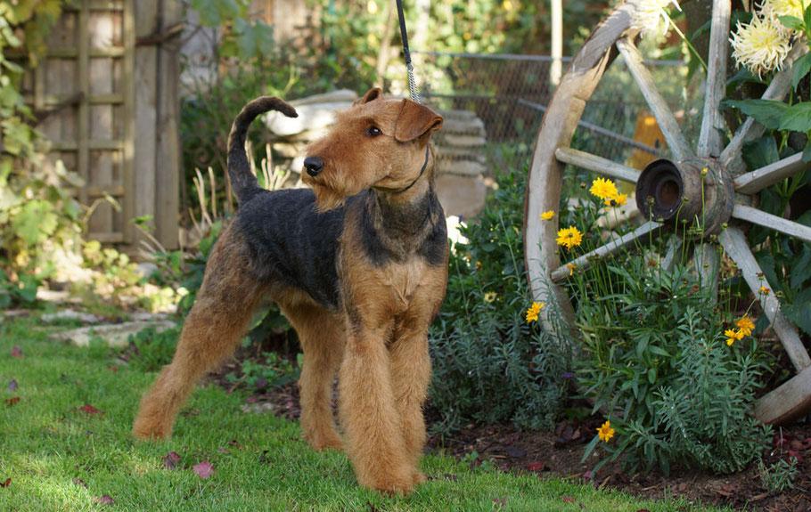Airedale Terrier vom Juratal, Bepina vom Juratal im September 2014