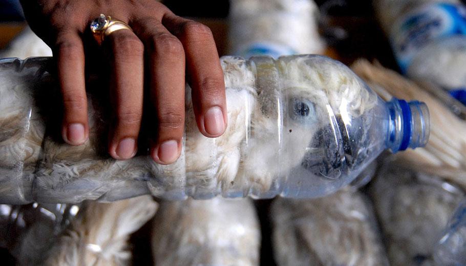 Illegal smuggling of cockatoos. Pet trade. Illegal wildlife animals. Endangered species. Criminal.