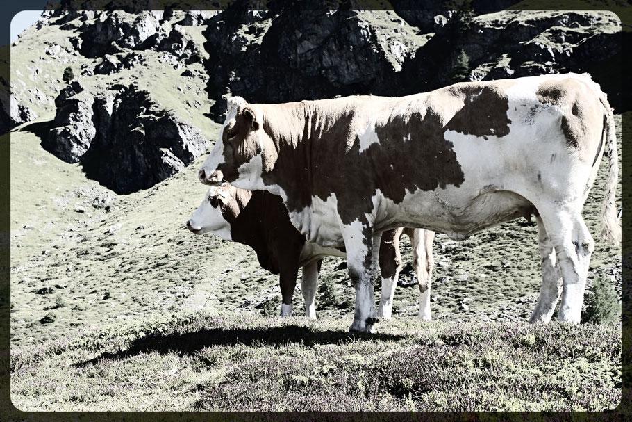 Kühe auf der Almweide in den Bergen