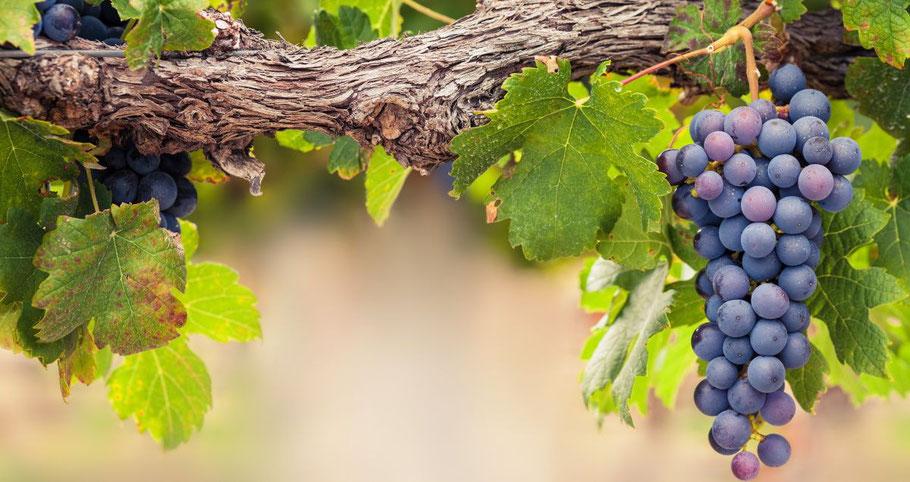 Grappe de raisin sur une vigne