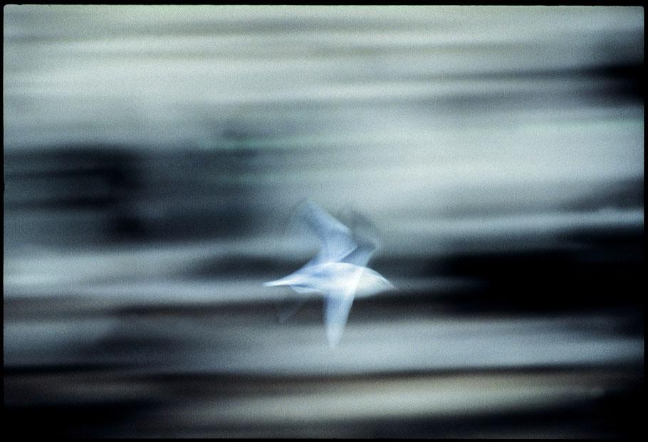 Gabbiano-di-fiume-torino-dora-riparia-marco-roatta-fotografo