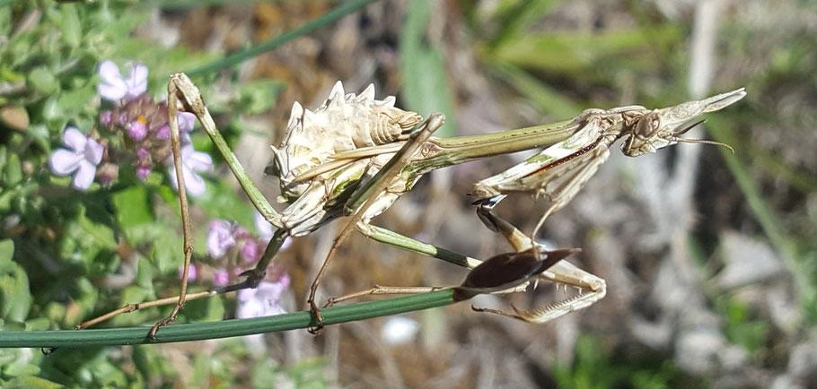 Empusa pennata  ou diablotin provençal - femelle -  Excoulin