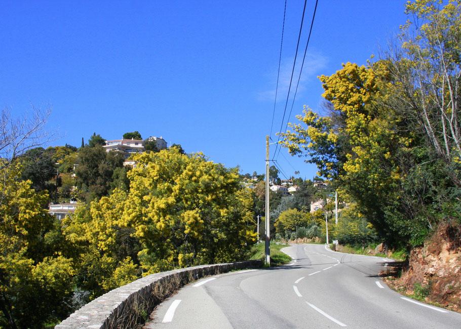 Bild: Straße von Mandelieu-la-Napoule (D 109) durch das Tanneron-Gebirge Richtung Grasse links und rechts Mimosenblüte