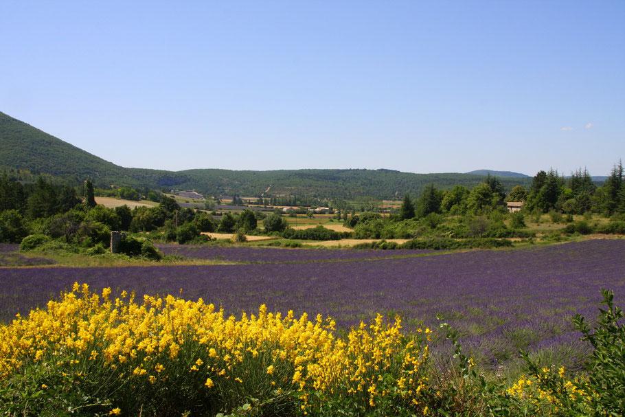 Bild: Lavendelfeld mit Ginster
