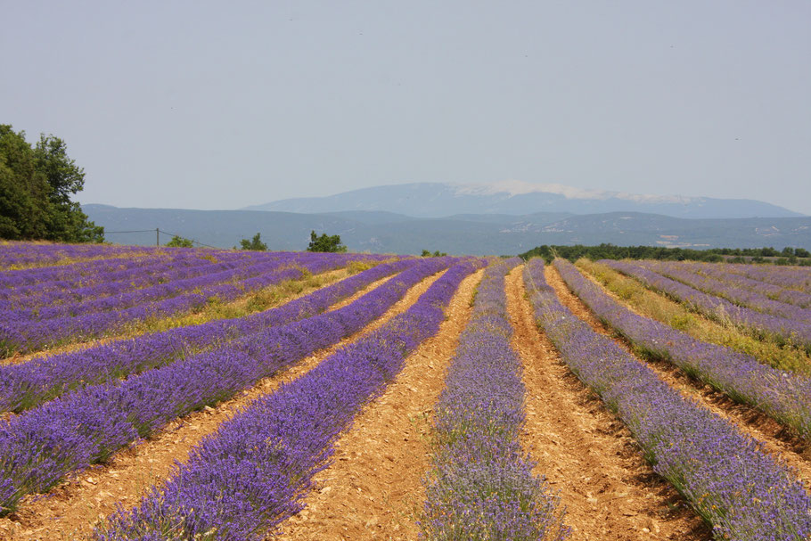 Bild: Lavendelfeld auf der Höhe bei Bonnieux