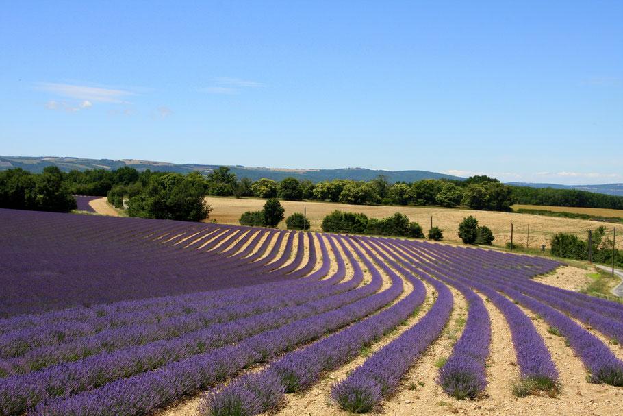 Bild: Lavendelroute zwischen Banon und Sault