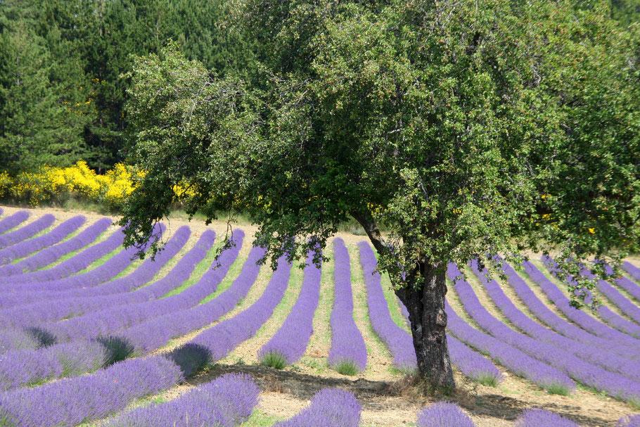 Bild: Lavendelfeld bei Aurel