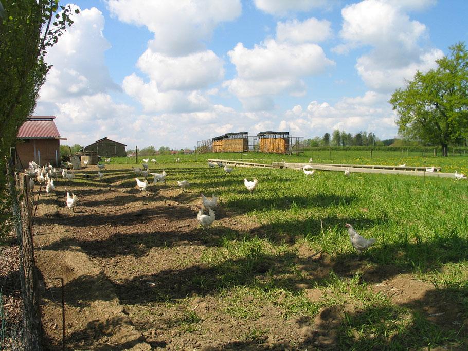 Bild: Bressehühner in freier Natur