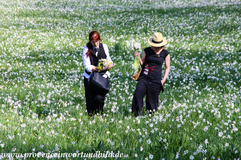 Bild: Narzissenfeld im Frühjahr am Ortsausgang von Créste Richtung Forcalquier