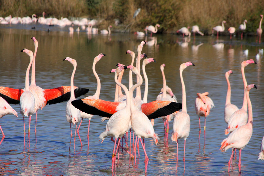 Bild: Flamingos in der Camargue