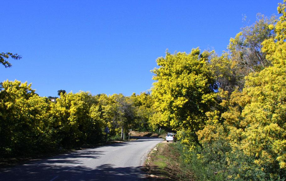 Bild: Fahrt durch den Mimosenwald im Tannerongebirge