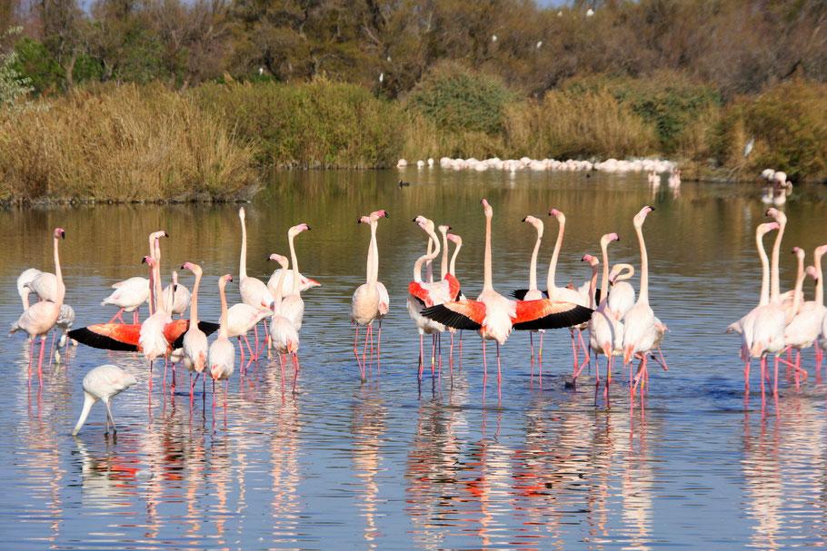 Bild: Flamingis im Parc ornithologique de Pont-de-Gau