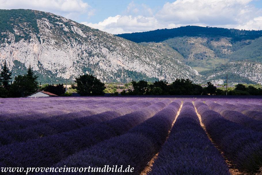 Bild: Lavendeltour hier Lavendelfeld mit Sonnenlicht und Schatten auf dem Weg nach St.-Jurs