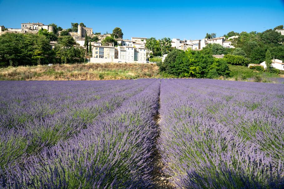 Bild: Lavendelfeld unterhalb von Ménerbes im Luberon
