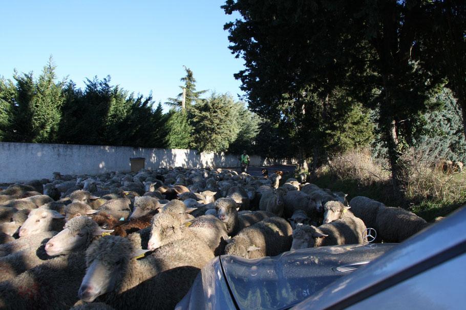 Bild: Schafe in der Provence