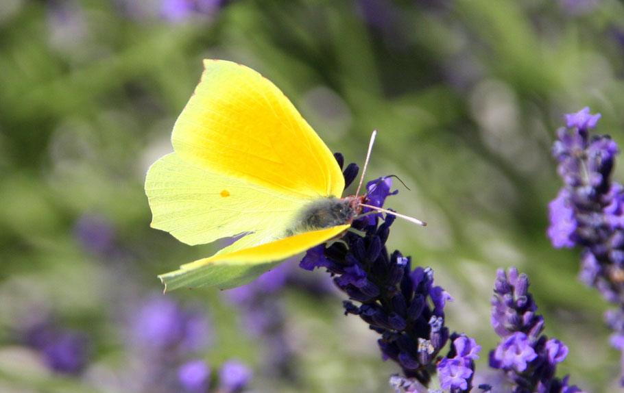 Bild: zitronengelber Schmetterling in der Provence