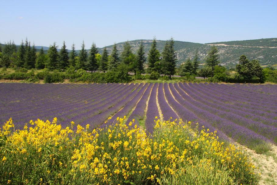 Bild: Lavendeltour hier Lavendelfeld mit Ginster im Vordergrund
