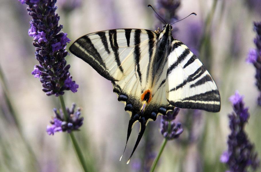 Bild: Schmetterling am Lavendel