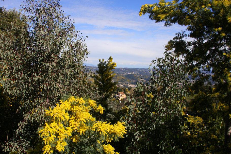 Bild: Blühende Mimosen und Eukalyptusbäume