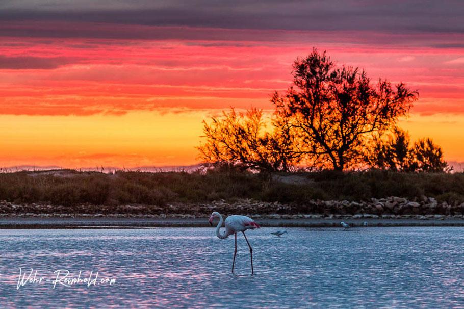 Bild: Flamingo im Sonnenuntergang in der Camargue