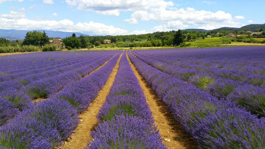 Bild: Lavendeltour hier unterhalb von Bonnieux