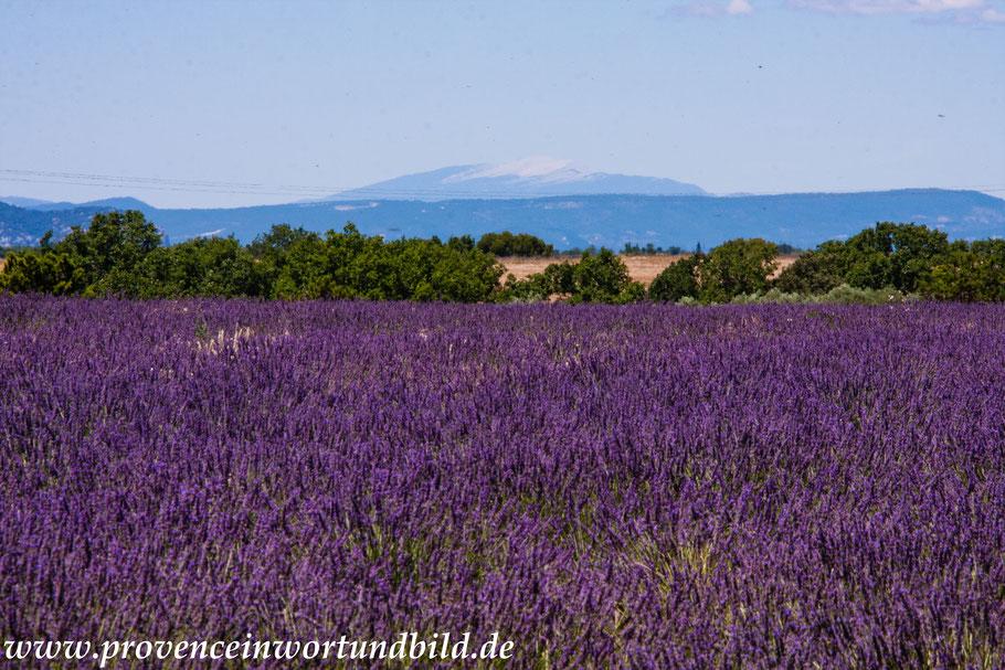 Bild: Lavendeltour hier Lavendelfeld bei Allemagne-en-Provence