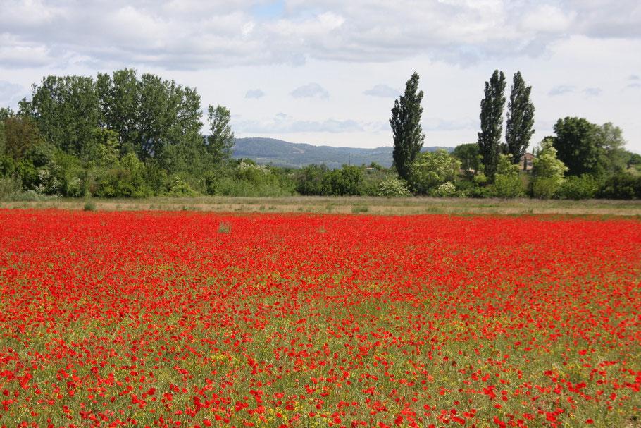 Bild: Klatschmohnfeld in der Provence