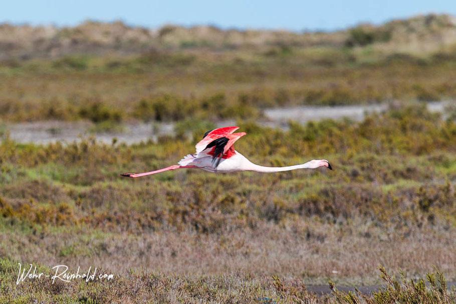 Bild: Flamingo in der Camargue