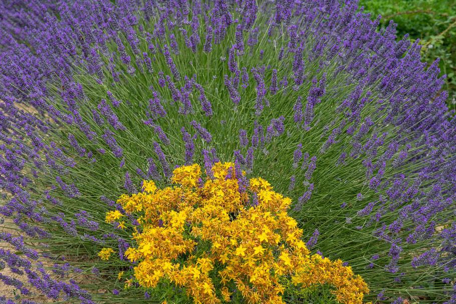 Bild: Im Sommer Lavendelblüte bei Vachères