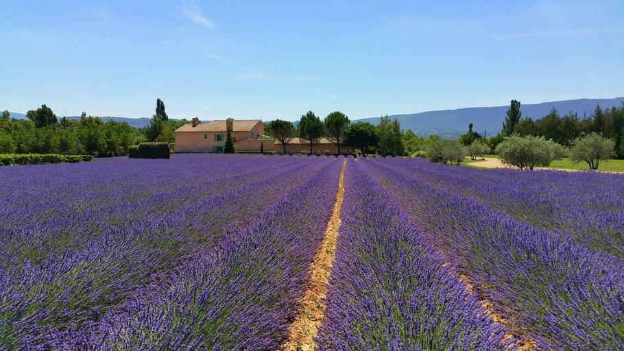 Bild: Lavendelfeld zwischen Apt und Coustellet