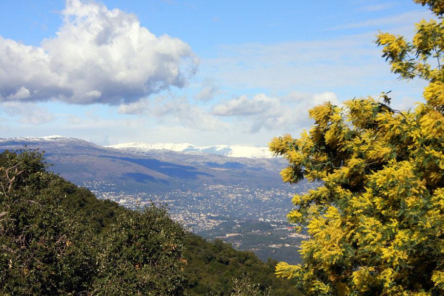 Bild: Faszinierend, blühende Mimosen und schneebedeckte Berge im Tannerongebirge