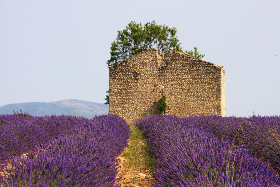 Bild: Lavendelroute hier auf dem Plateau Valensole