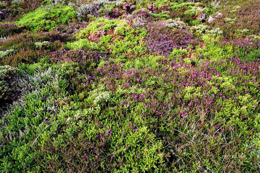 Bild: Heidelandschaft auf der Halbinsel Crozon