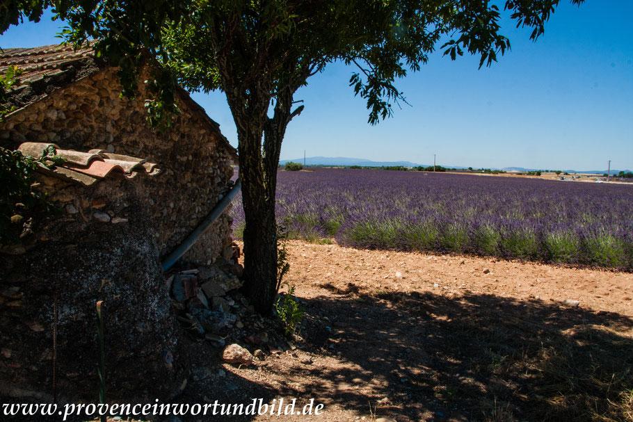 Bild: Lavendelroute hier bei Valensole