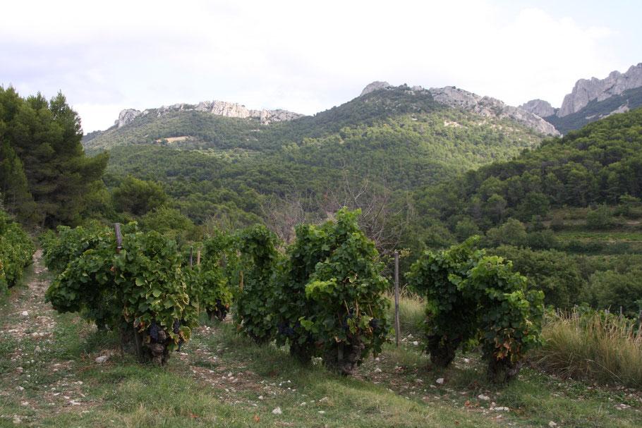 Bild: Weinberg in Gigondas mit Blick auf die Dentelles Montmirail