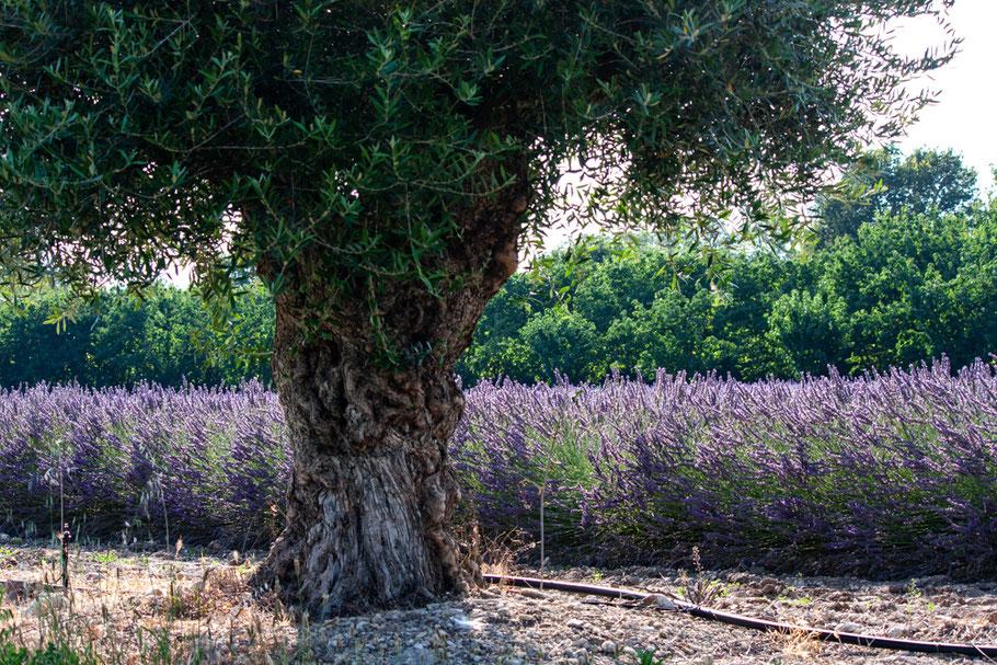 Bild: Lavendelfeld bei Lagnes