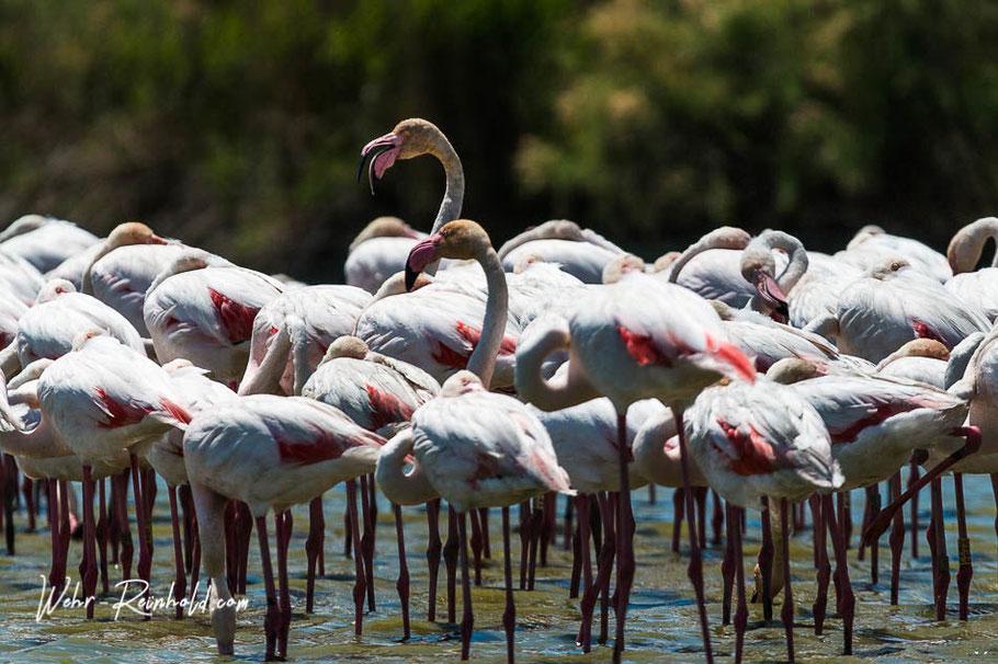 Bild: Flamingos in der Camargue