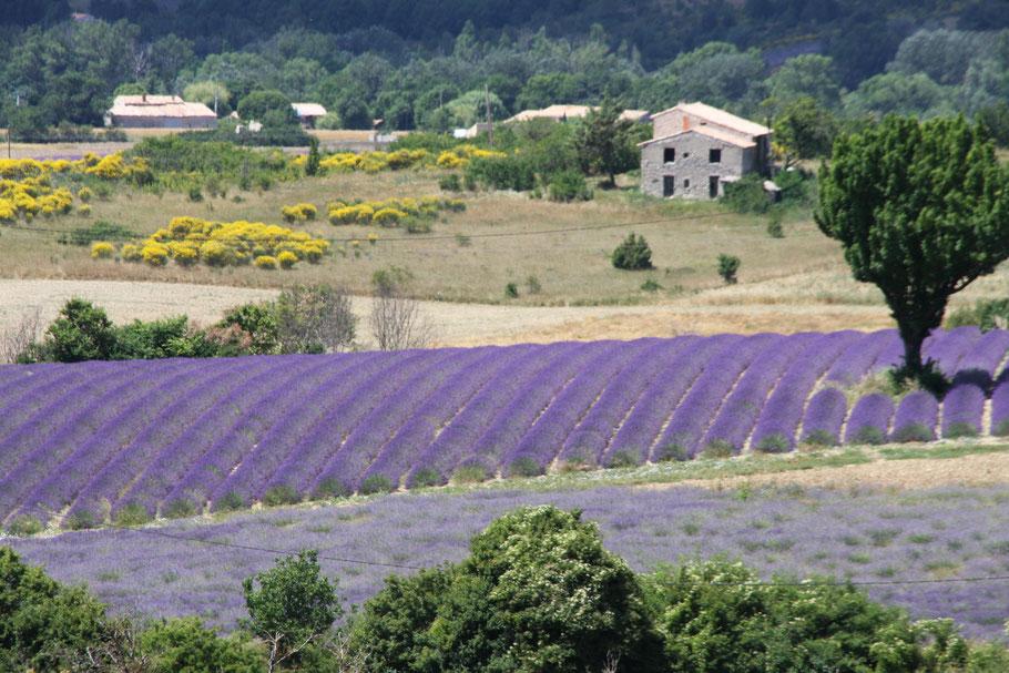 Bild: Lavendelfelder bei Sault