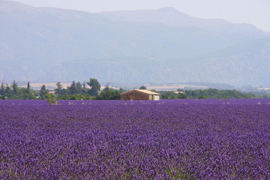 Bild: Lavendelroute hier Plateau Valensole