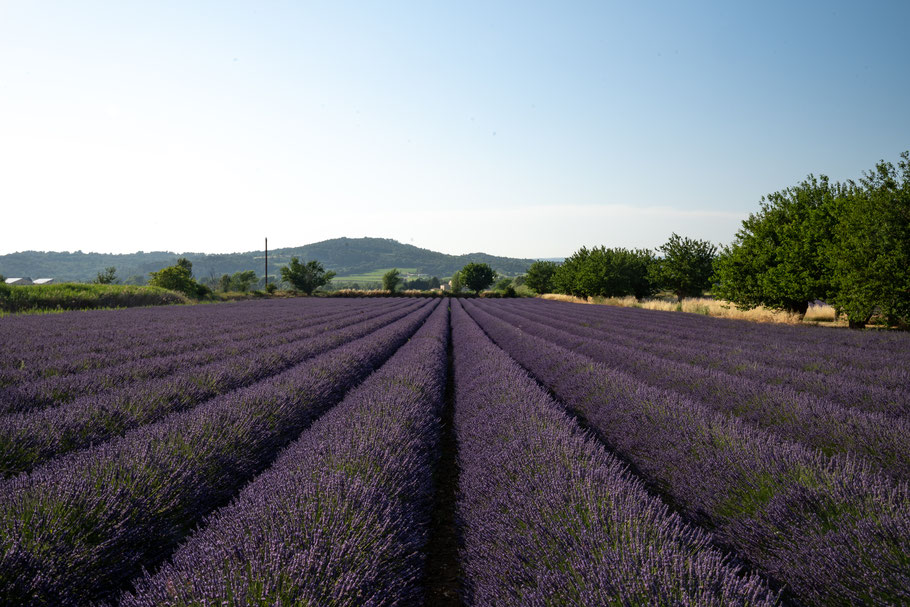 Bild: Lavendelfeld bei Bonnieux