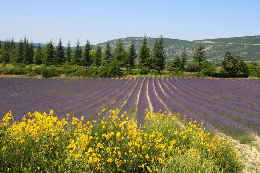 Bild: Lavendelfeld bei Sault