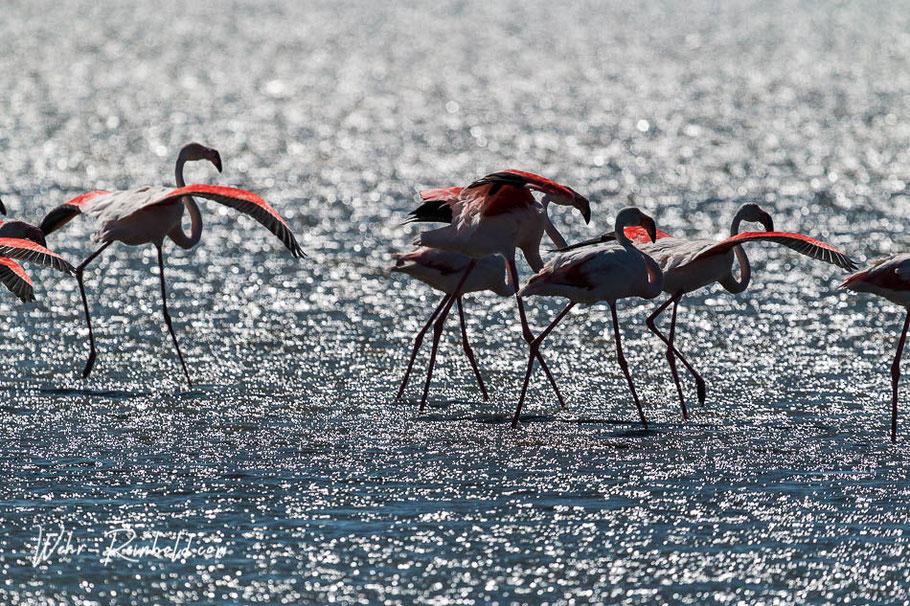 Bild: Camargue Flamingos