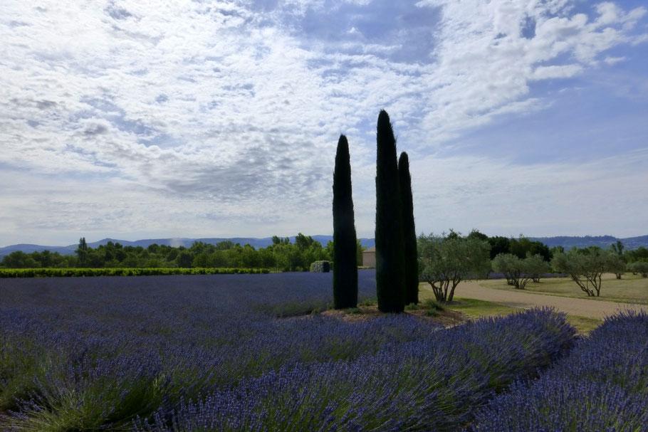 Bild: Lavendeltour hier auf der Fahrt nach Bonnieux