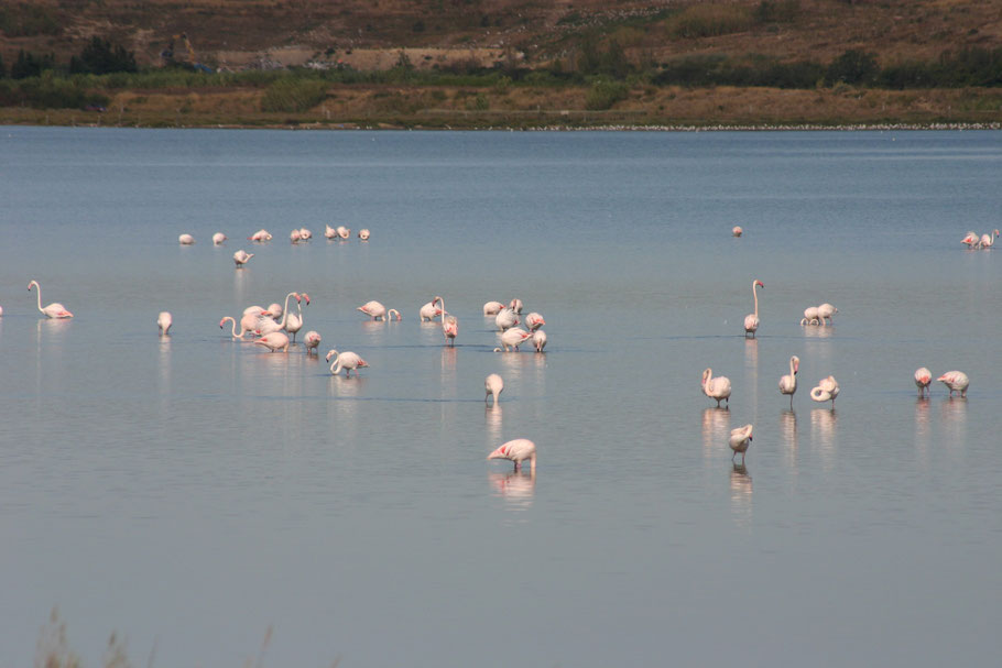 Bild: Flamingos in der Camargue, Provence